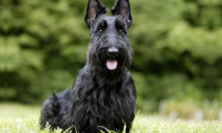 Bobby the Scottish Terrier